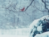 Red Birds in Snow© Oh.