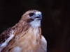 Red Tail Hawk© Oh.