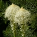 Bear Grass© MT