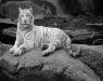 White Tiger© OH