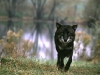 Wolf on the Move© IN